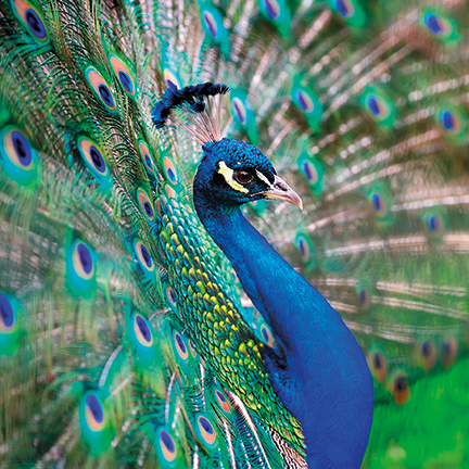 Peacock spreading feathers