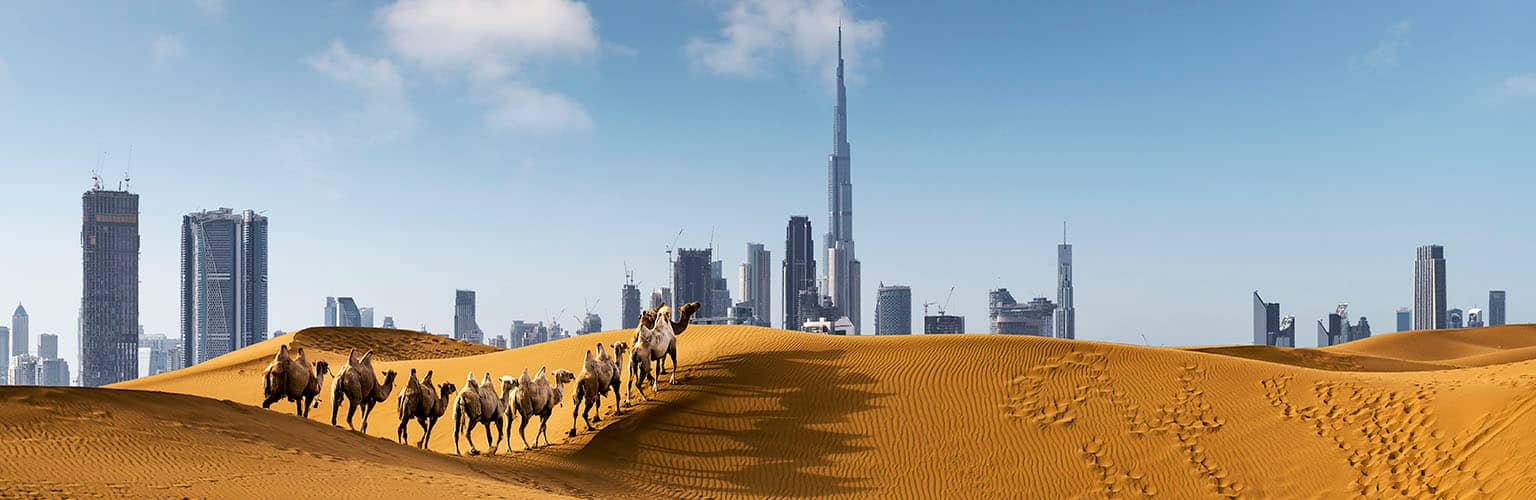 The Dubai skyline rising above sand dunes where a line of camels is walking.